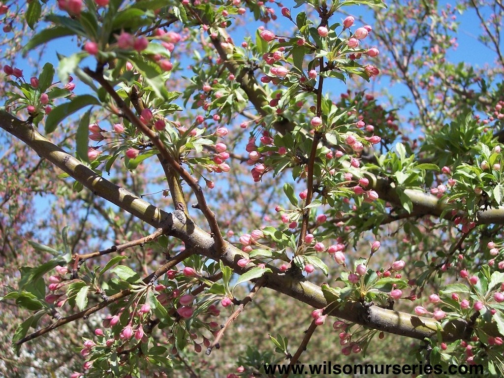 Golden raindrops flowering crabapple wilson nurseries for Crabapple tree