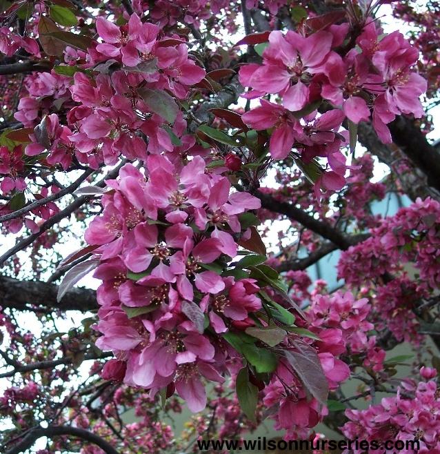 profusion flowering crabapple wilson nurseries. Black Bedroom Furniture Sets. Home Design Ideas