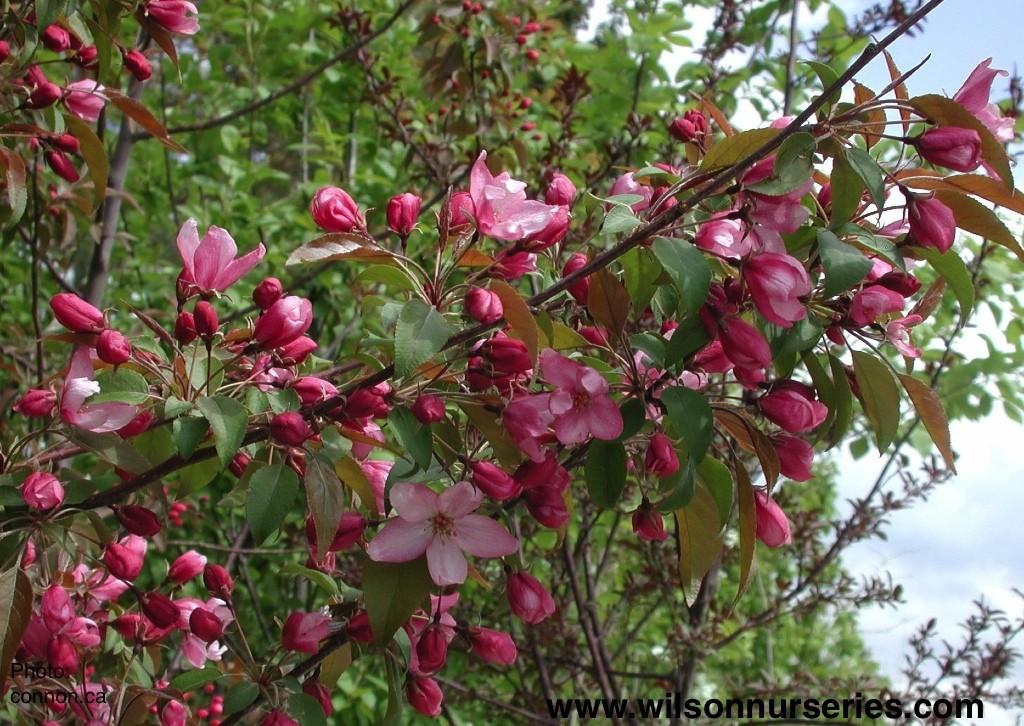 pink spires flowering crabapple wilson nurseries. Black Bedroom Furniture Sets. Home Design Ideas