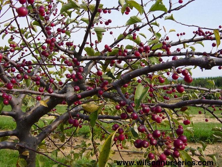 Tina Dwarf Flowering Crabapple – Wilson Nurseries
