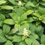PATG-Pachysandra-Green-Carpet-_flowers_CU