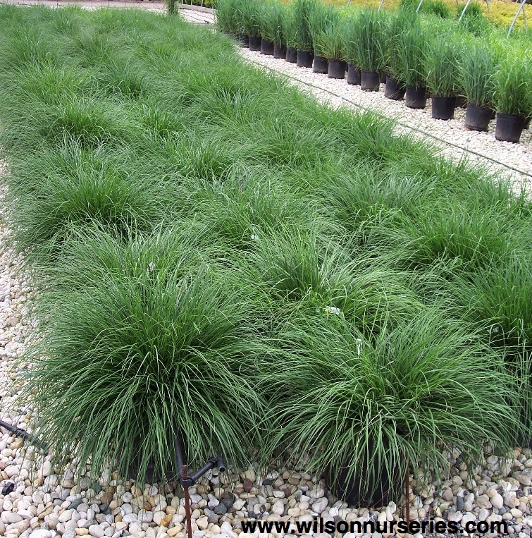 Hameln dwarf fountain grass wilson nurseries for Fountain grass