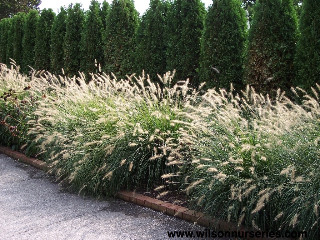 Hameln dwarf fountain grass wilson nurseries for Hardy fountain grass