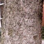 PIA-Picea-abies-bark