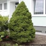 PIGC-Picea-glauca-Conica-form
