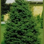 PIP-Picea-pungens-green