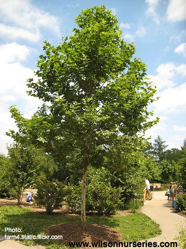 Bloodgood London Planetree Wilson Nurseries