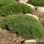 PNM-Pinus-mugo-pumilio-form