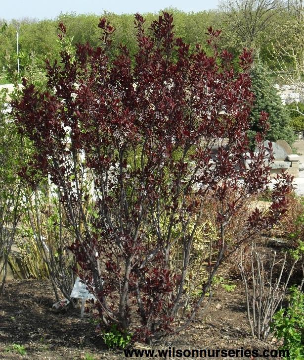 Purple-leaf Sandcherry – Wilson Nurseries