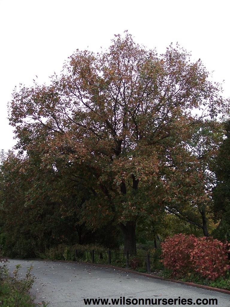 Swamp white oak wilson nurseries