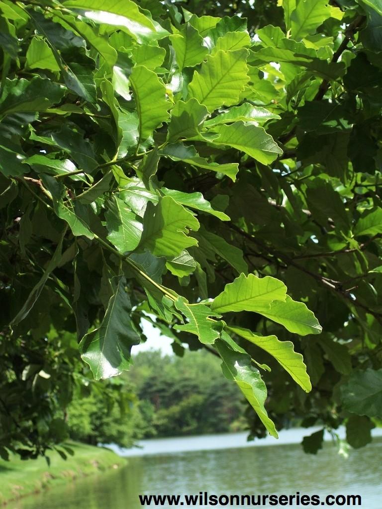 Swamp White Oak – Wilson Nurseries