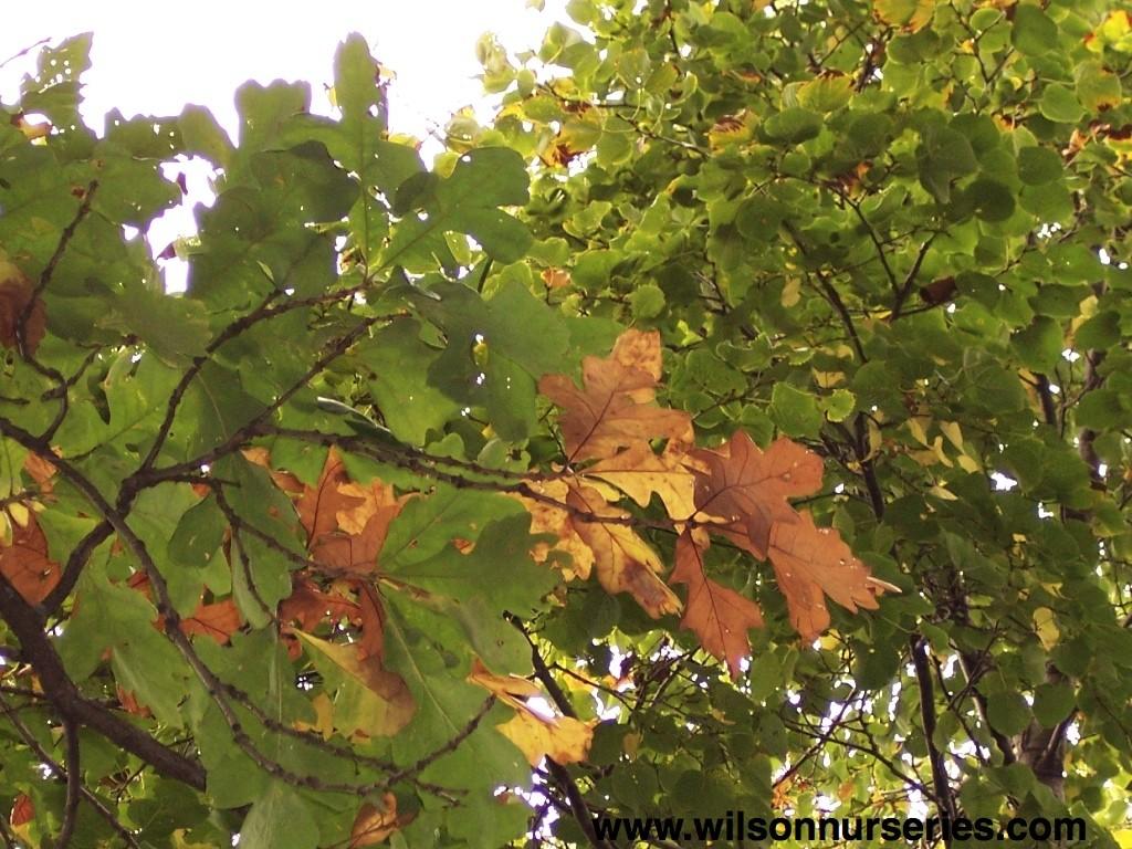 Bur Oak – Wilson Nurseries