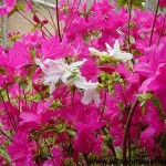 RHK-Azalea-Karens-flowers-CU
