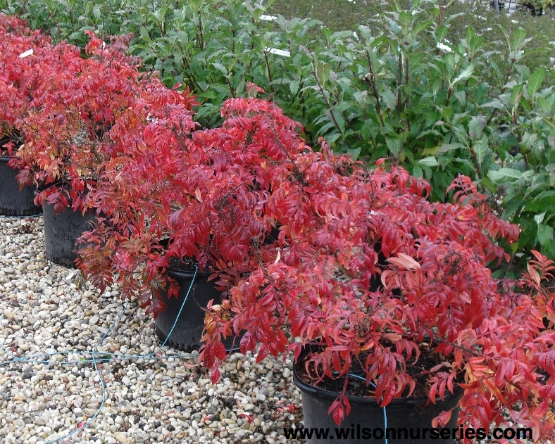 Prairie Flame Shining Sumac | Wilson Nurseries