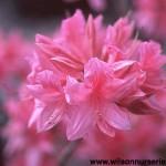 RHRL-Azalea-Rosy-Lights-CU