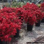 RHS-Azalea-Stewartsonia-flowering-form