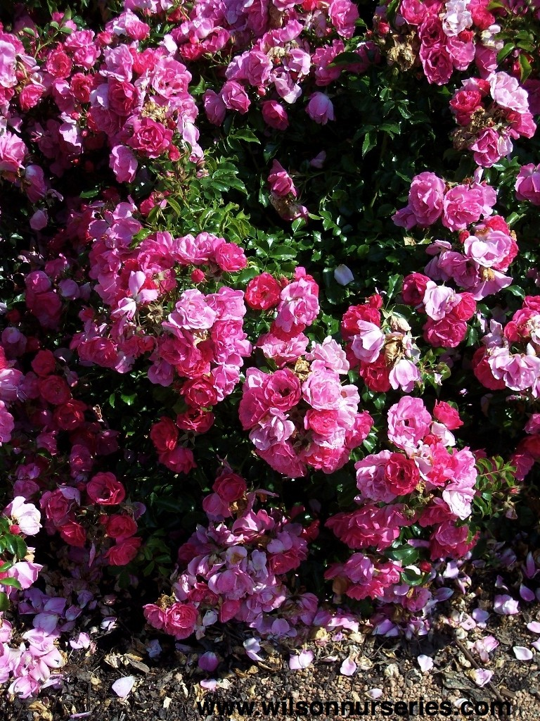 Flower carpet rose pink wilson nurseries robc rosa flower carpet pink flower clusters dhlflorist Image collections