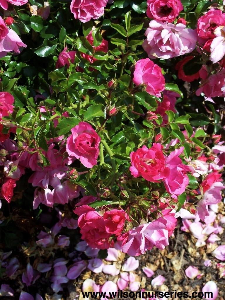 Flower carpet rose pink wilson nurseries robc rosa flower carpet pink flowers dhlflorist Image collections