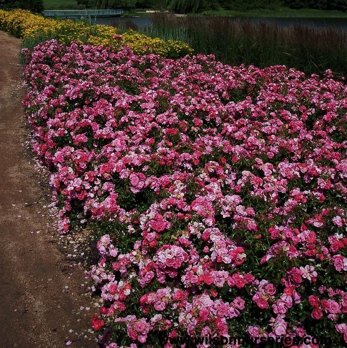 Flower carpet rose pink wilson nurseries rosa rose x noatroum flower carpet rose pink mightylinksfo