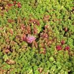 SEDB-Sedum-Dragons-Blood-foliage