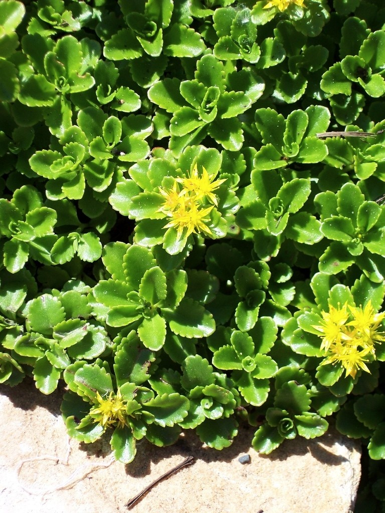 Russian stonecrop wilson nurseries fleshy foliage is deep green and scalloped useful as a border and as a groundcover long bloom season of showy yellow flowers appear in spring and summer mightylinksfo