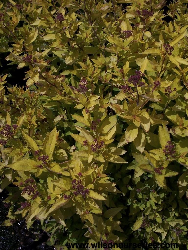 Gold Mound Spirea Wilson Nurseries