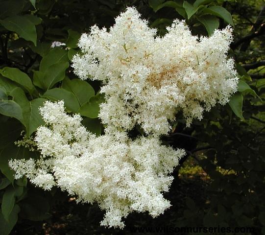 Japanese Tree Lilac Wilson Nurseries