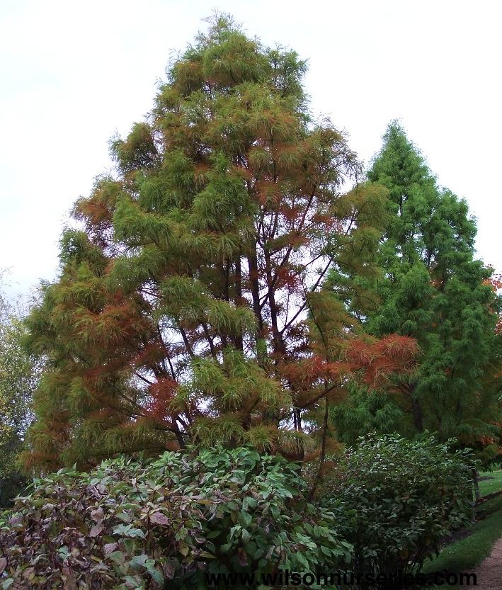 Inchburoak also Tad Taxodium Distichum Fall Form as well Zelkova further Ffo Xs likewise Sassafras Albidum. on sassafras tree care