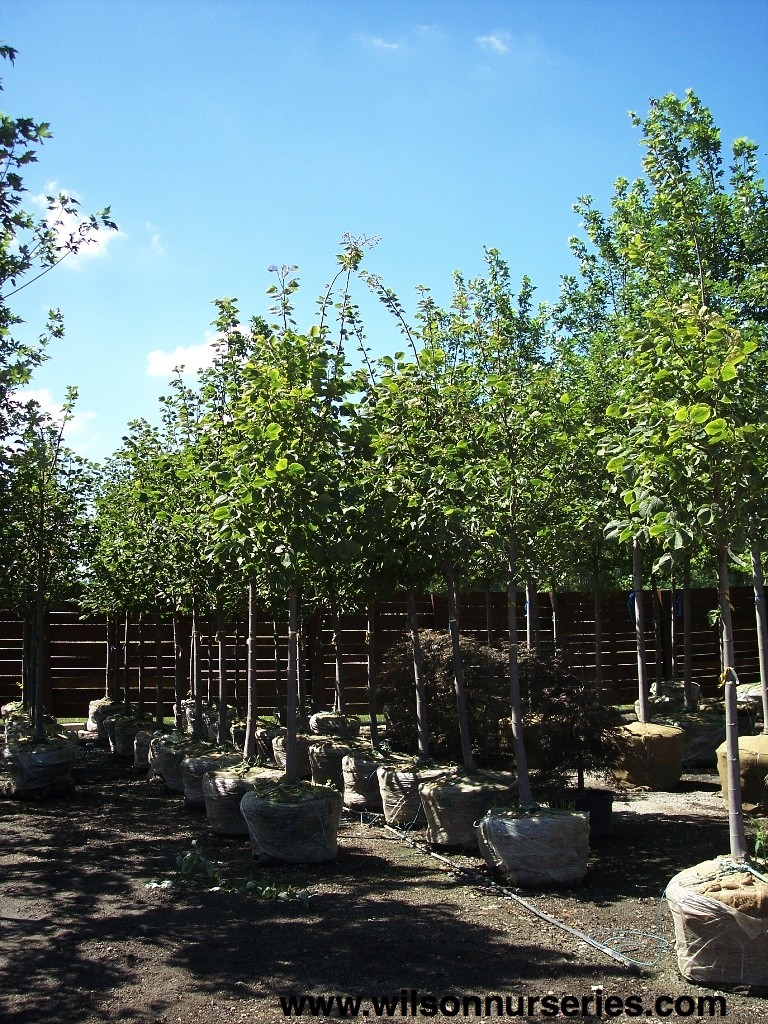 Redmond American Linden – Wilson Nurseries