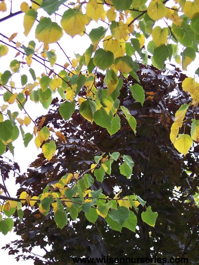 Glenleven Littleleaf Linden – Wilson Nurseries