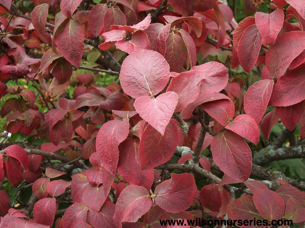 koreanspice viburnum � wilson nurseries