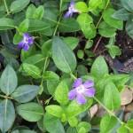 VIMDB-Vinca-Darts-Blue_flower-CU