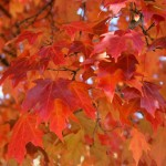 1512 acer saccharum fall fiesta