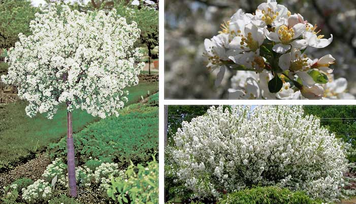 Lollipop flowering crabapple wilson nurseries a dense fine textured tree with a symmetrical globular head that maintains its shape with minimal pruning the profuse white flowers are followed by small mightylinksfo