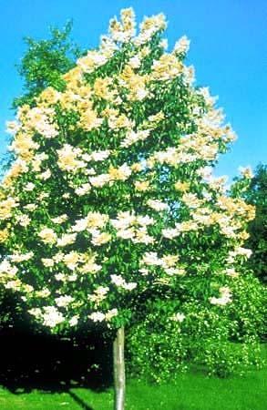 Summer Charm Pekin Lilac Wilson Nurseries