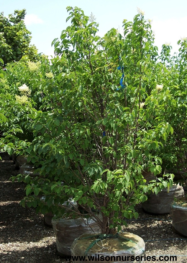 Ivory Silk Japanese Tree Lilac Wilson Nurseries