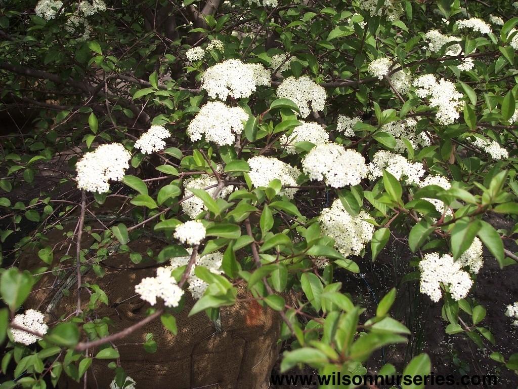 Blackhaw Viburnum Wilson Nurseries