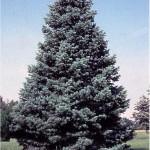 2937 concolor fir