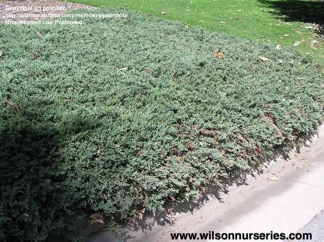 Juniperus Juniper Horizontalis Wiltoni Blue Rug Spreading