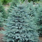 3021 colorado blue spruce