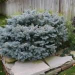 3022 globed blue spruce