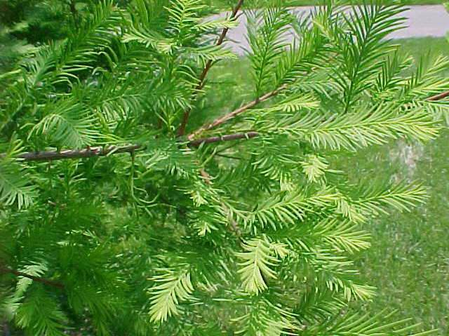 Common Baldcypress Wilson Nurseries