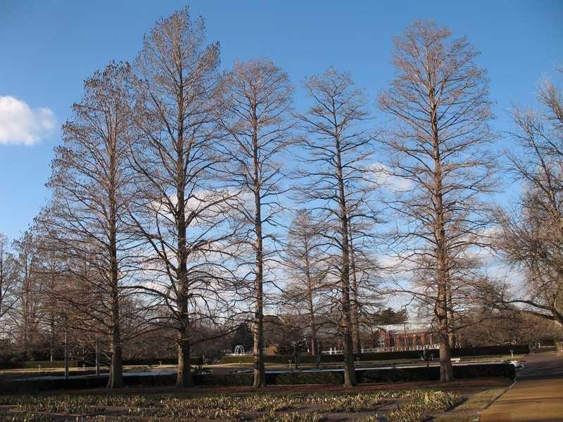 Common Baldcypress Wilson Nurseries