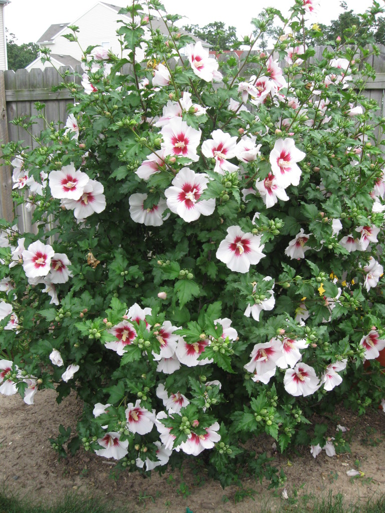 Plant ID By Me: Hibiscus syriacus cvs. (Rose of Sharon)