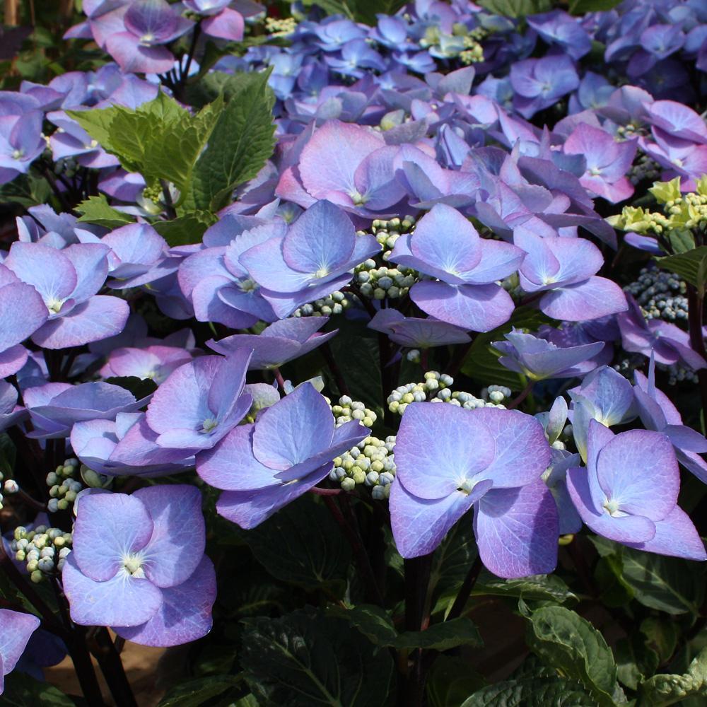 bloomstruck endless summer hydrangea wilson nurseries. Black Bedroom Furniture Sets. Home Design Ideas