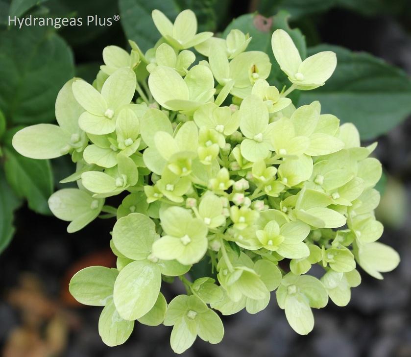 little lime174 hydrangea � wilson nurseries