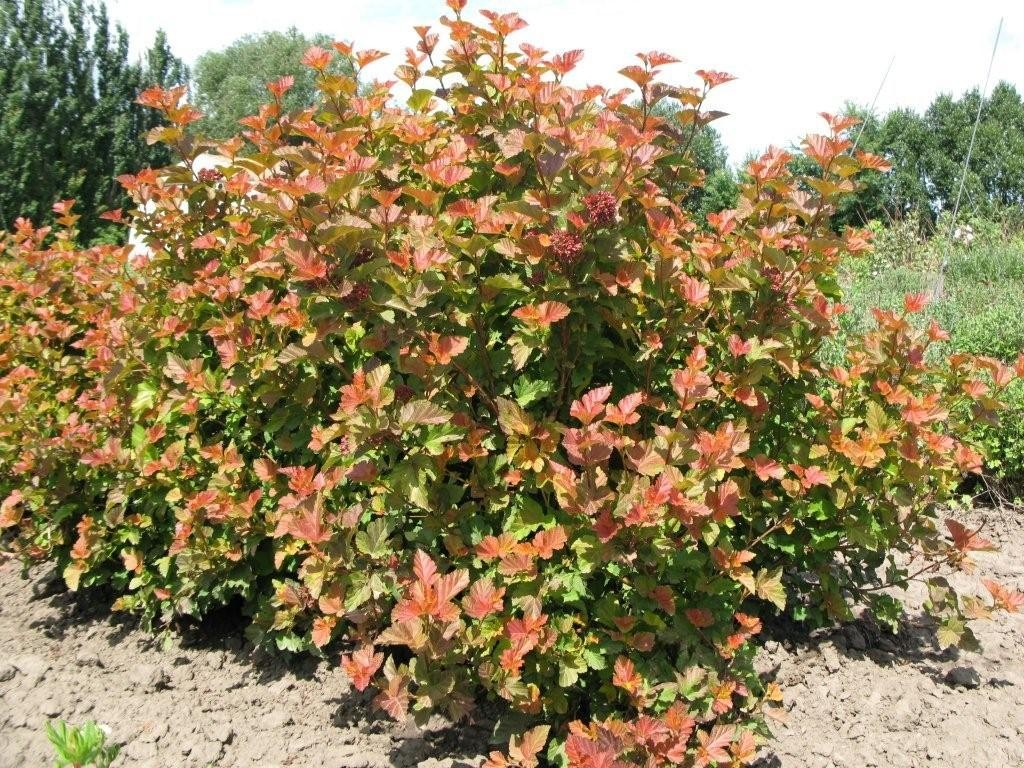 Best Bushes For Shade