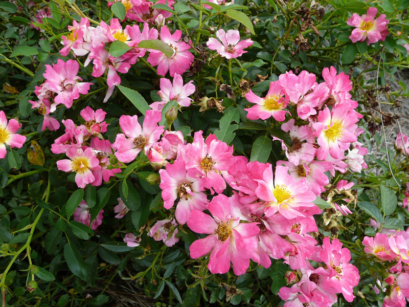 Picture of Live Rose (groundcover, pink) aka Rosa Drift(R) Pink Drift(R) PP18874 Plant Fit 1 Gallon Pot