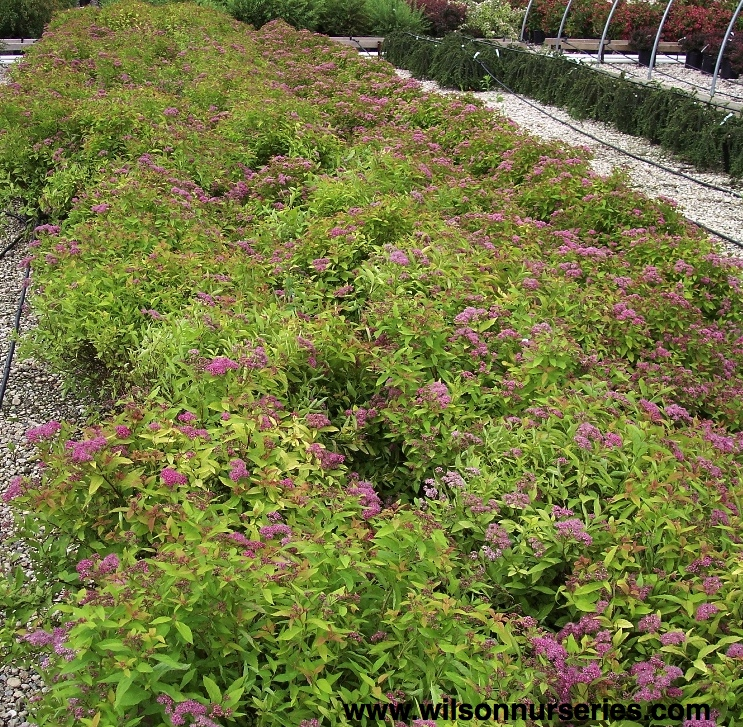 Spirea Magic Carpet Uk Vidalondon