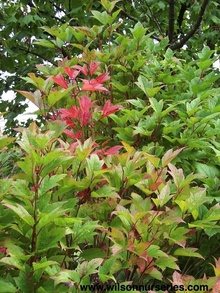 Hahs American Cranberrybush Viburnum Wilson Nurseries